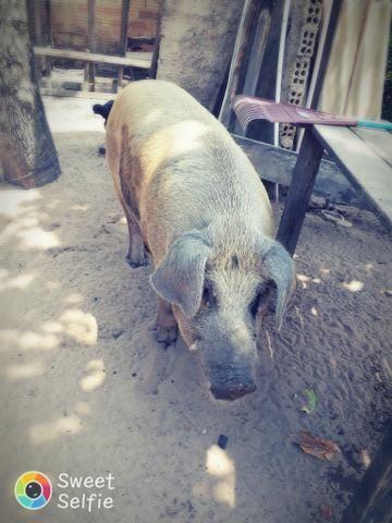 Vendo esse porco vivo - Foto 2