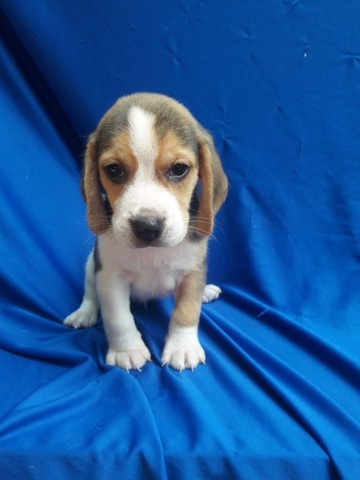 Beagle 13 polegadas, compre hoje e adquira o pedigree gratuitamente! 9127
