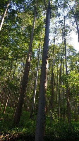 12 Hectares de Eucalipto c/ 17 Anos - Foto 2