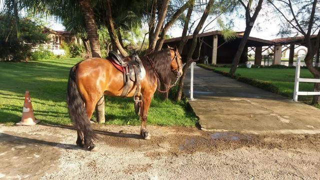 Cavalo Mangalarga Marchador - Foto 3