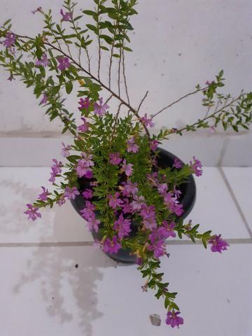 Planta Érika rosa - Foto 5