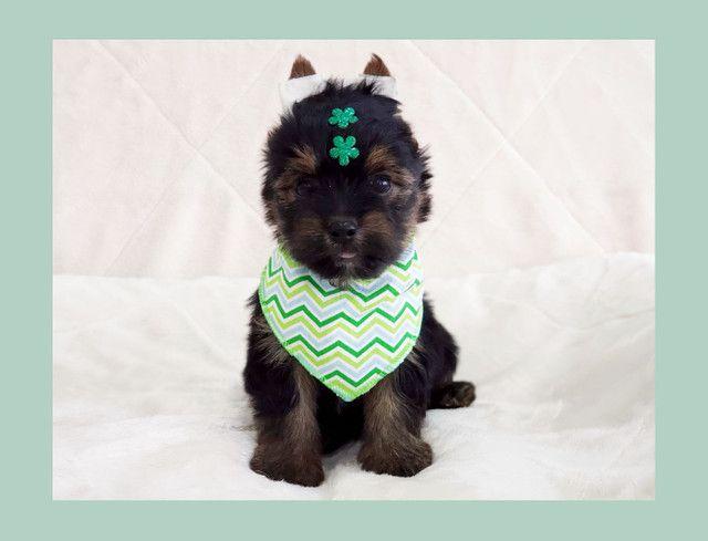 Filhote de yorkshire terrier macho de excelente linhagem - pronta entrega  - Foto 2