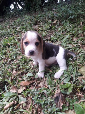 Beagle 13 polegadas, compre hoje e adquira o pedigree gratuitamente! 9127 - Foto 2