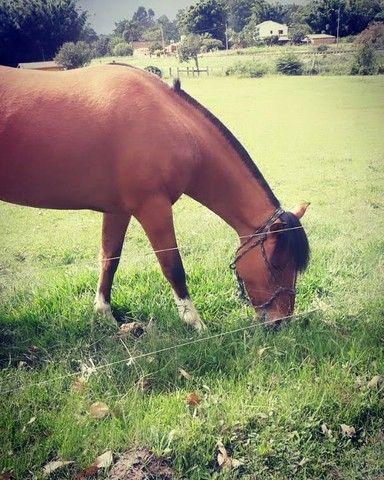 Vende-se Cavalo Crioulo Cuiudo - Foto 2