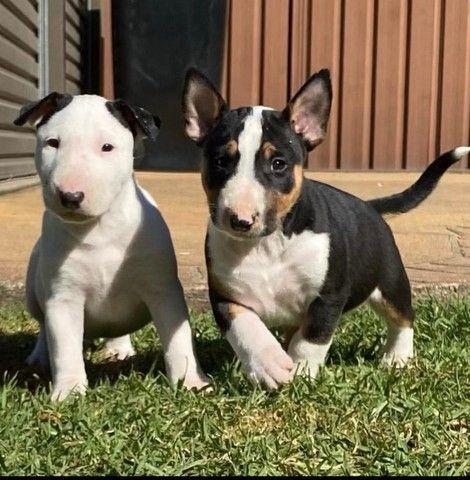 Maravilhosos Filhotes de Bull Terrier - Foto 3