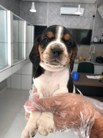 Beagle 13 polegadas, bicolor e tricolor, com suporte veterinário gratuito! - Foto 4