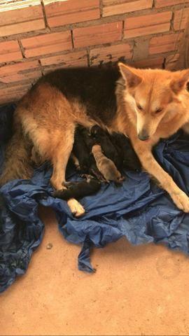 Vendo filhotes de pastor belga e rottweiler - Foto 5