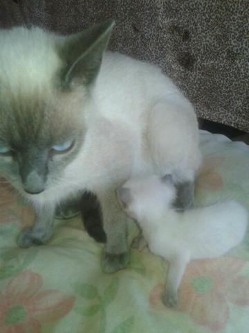 Vendo uma gatinha siamesa 6 meses