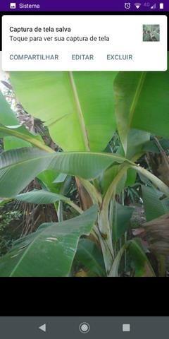 Mudas de banana
