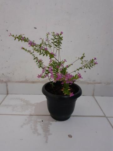 Planta Érika rosa - Foto 3
