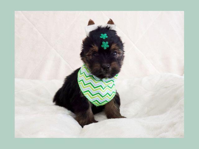 Filhote de yorkshire terrier macho de excelente linhagem - pronta entrega