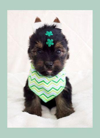 Filhote de yorkshire terrier macho de excelente linhagem - pronta entrega  - Foto 4