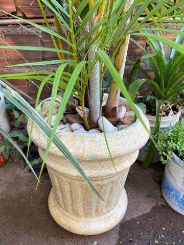 Muda de coqueiro e vaso de cimento  - Foto 3