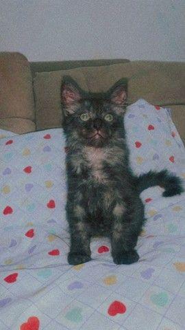 Gato persa com angora - Foto 4