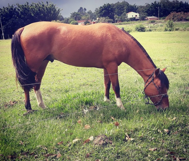 Vende-se Cavalo Crioulo Cuiudo - Foto 3