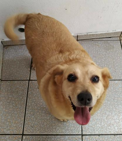 Cachorra carinhosa para adoção - Foto 2