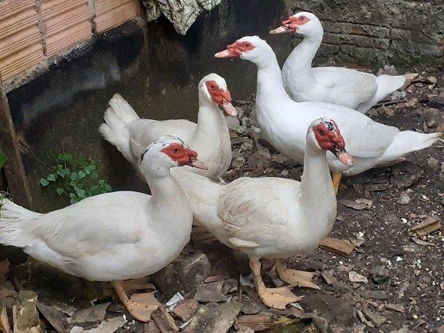 Vendo Pato  - Foto 2