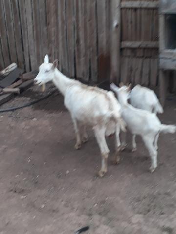 Cabras sanney - Foto 3