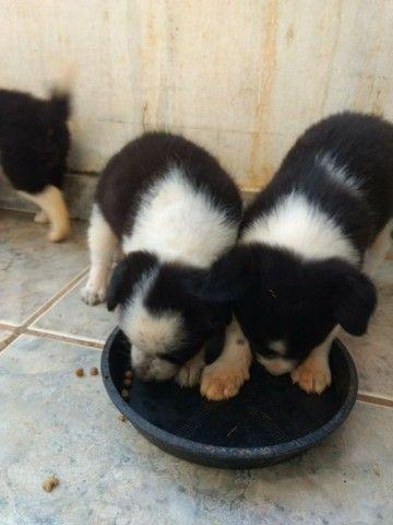 Filhotes machos de Border Collie - Foto 5