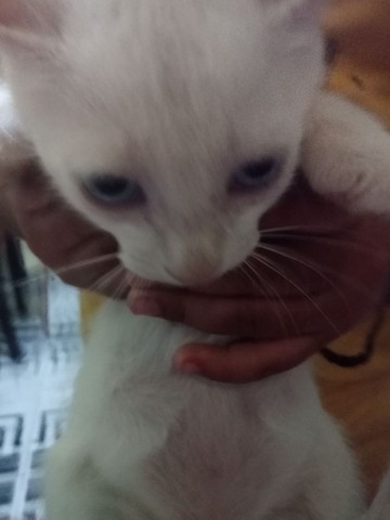 Doação de gatinhos 3 fêmeas e um macho - Foto 2