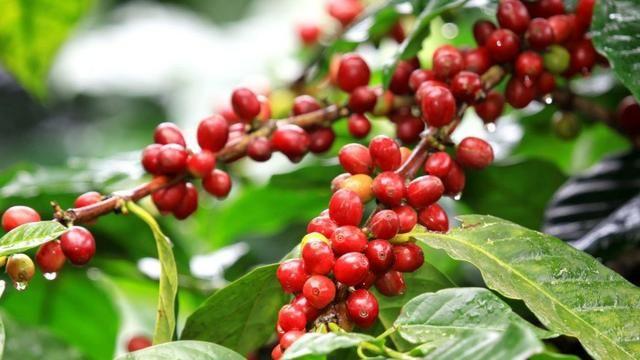 Adubo Líquido de Carga para Café