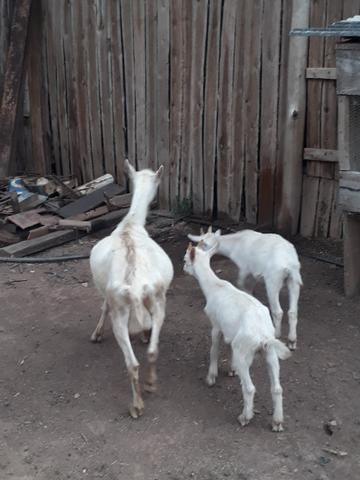 Cabras sanney - Foto 2