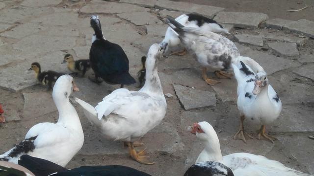 Pato na mesa - Foto 2