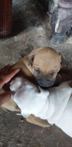 Vende-se Filhote de Pitbull  - Foto 2