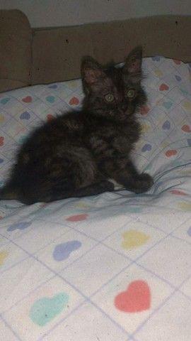 Gato persa com angora - Foto 3
