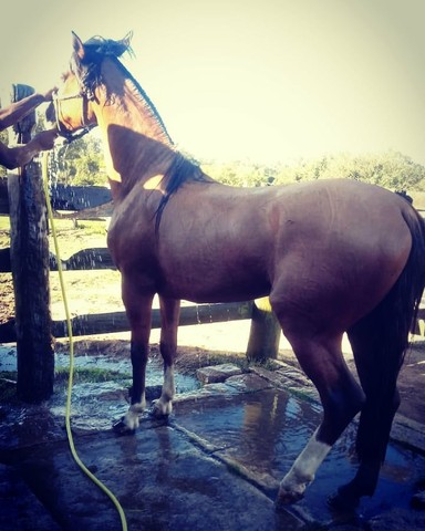 Vende-se Cavalo Crioulo Cuiudo - Foto 4
