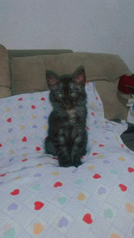 Gato persa com angora - Foto 2