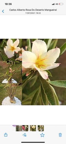 Rosa do Deserto - Foto 4