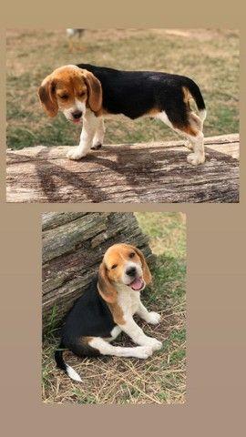 Beagles - Foto 2