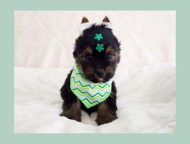 Filhote de yorkshire terrier macho de excelente linhagem - pronta entrega  - Foto 3