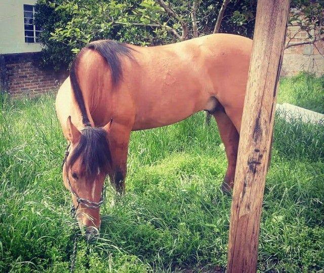 Vende-se Cavalo Crioulo Cuiudo - Foto 5
