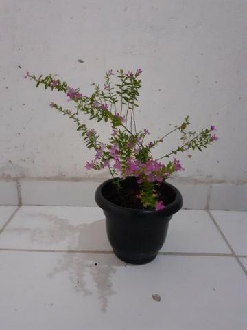 Planta Érika rosa - Foto 2