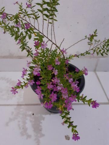Planta Érika rosa - Foto 4