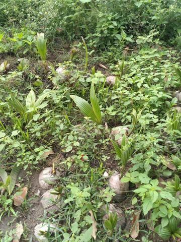 Muda de coco anão - Foto 3