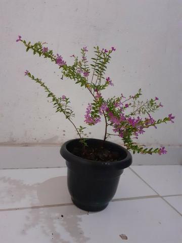 Planta Érika rosa