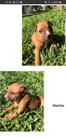 Filhotes de American Pitbull Terrier  - Foto 2