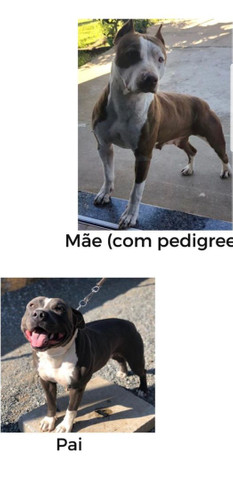 Filhotes de American Pitbull Terrier  - Foto 4