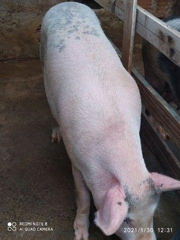 Porco Caipira - Foto 2