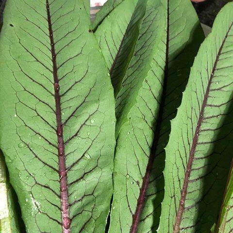 Sementes de Almeirao Roxa (tipo arvore), sementes orgânicos, PANCs - Foto 2