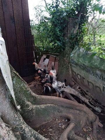 Frangão  indio gigante - Foto 5