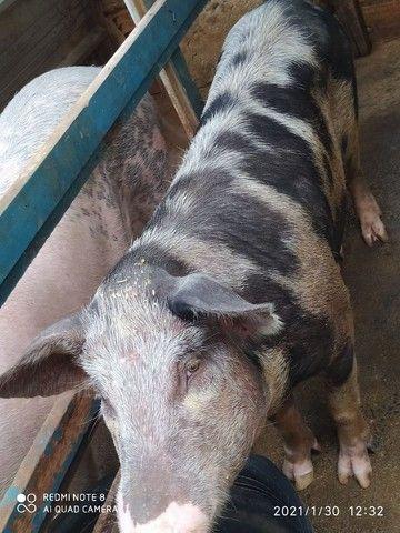 Porco Caipira - Foto 6