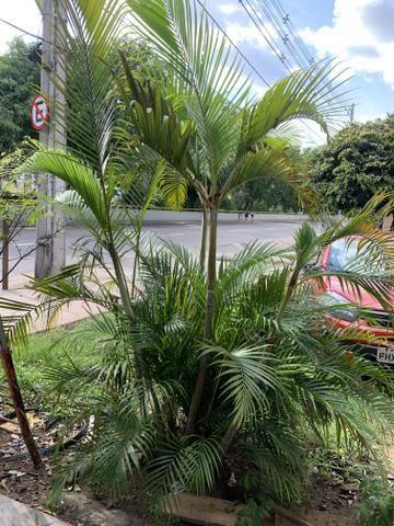 Vendo um pé de palmeira R$100,00