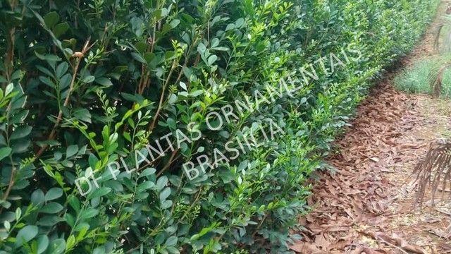 Murta e Ficus para cerca viva - Mudas de Qualidade - Foto 3