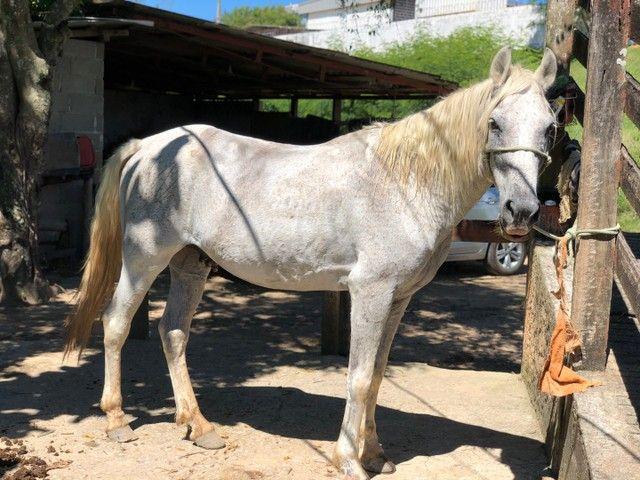 Cavalo Mangalarga Marchardor