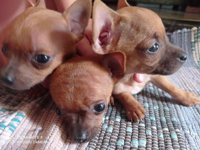 3 Cachorrinhos lindos Pinscher