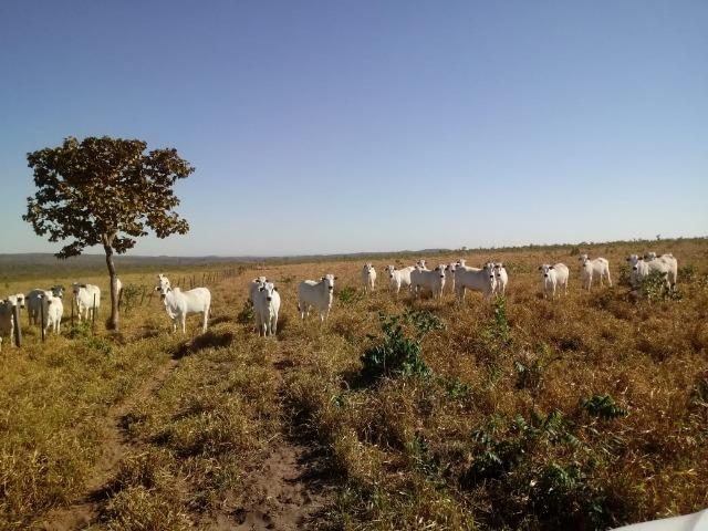 Fazenda para Pecuária 1.940 hectares na Estrada do Manso 50 km Cuiabá - Foto 14